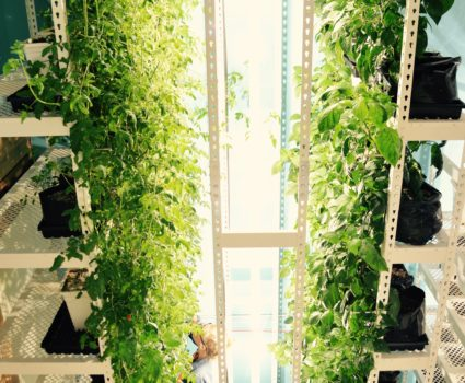 Vegetables grown on vertical rack attached to high-density mobile carriages. Photo courtesy of Brighterside Vertical Farms.